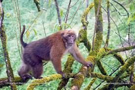 "<img src=""Arunachal-Macaque.jpg"" alt=""image of Arunachal-Macaque sitting on tree-top various types of monkey breeds in india"">"