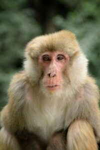 "<img src=""Assam-Macaque.jpg"" alt=""image of a looking Assam-Macaque variuos types of monkey breed in india"">"