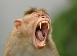 "<img src=""Bonnet-Macaque.jpg"" alt=""image of a yawning Bonnet-Macaque various types of monkey breeds found in india"">"