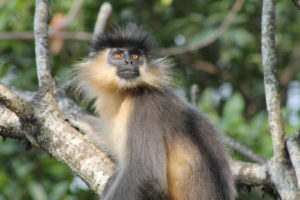 "<img src=""Capped-Langur.jpg"" alt=""image of Capped-Langur with a hair tuft on head various monkey breeds found in india"">"