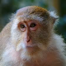 "<img src=""Crab-Eating-Macaque.jpg"" alt=""image of Crab-Eating-Macaque with a grey face various monkey breeds found in india "">"