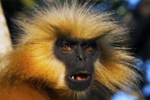 "<img src=""Golden-Langur.jpg"" alt=""image of Golden-Langur that has golden colored fur and hair various monkey breeds found in india "">"
