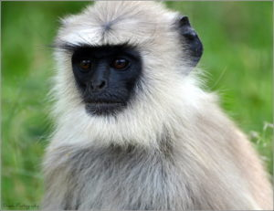"<img src=""Gray-Langur.jpg"" alt=""image of a black faced Gray-Langur various monkey breeds found in india"">"