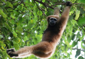 "<img src=""Hoolock-Gibbons.jpg"" alt=""image of a Hoolock-Gibbons hanging from a tree-topvarious types of monkey breeds found in india"">"