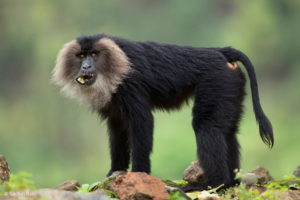 "<img src=""Lion-Tailed-Macaque.jpg"" alt=""image of a standing Lion-Tailed-Macaque various monkey breeds found in India "">"