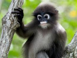 "<img src=""Phayre's-Leaf-Monkey.jpg"" alt=""image of Phayre's-Leaf-Monkey that has brown and white mixed fur various monkey breed found in india"">"