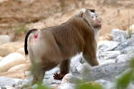 "<img src=""Pig-Tailed-Macaque.jpg"" alt=""image of Pig-Tailed-Macaque standing various monkey breeds in india"">"