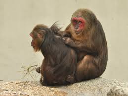 "<img src="" Stump-Tailed-Macaque.jpg"" alt=""image of Stump-Tailed-Macaque scratching its babies back various monkey breeds found in india"">"