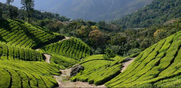 Tea Plantations of Darjeeling