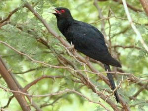 Asian Koel belongs to the cuckoo family.