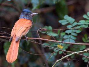 Asian Paradise Flycatcher can be found all over the Indian subcontinent.