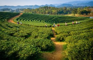 Tea Plantations in Assam