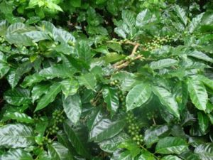 Coffee Plantations in Chikmaglur