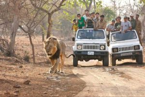 Rare Asiatic Lion at Gir National Park