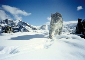 Snow Leopard at Hemis National Park