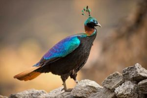Himalayan Monal is the state bird of Uttarakhand.