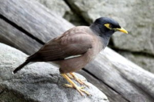 Indian Myna is one of most common species of birds found in India.