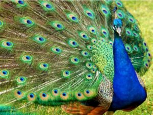 This colorful bird is one of the largest birds found in the Indian subcontinent.