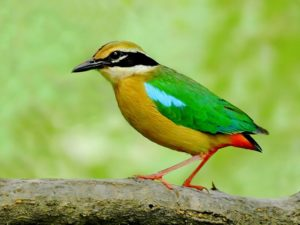 Indian Pitta is a medium-sized bird that comes out in winter months for breeding.