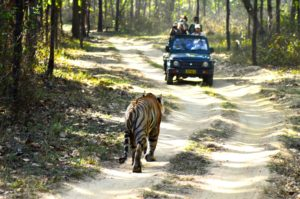 Walking Begals at Kanha National Park