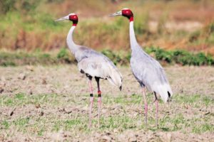 Sarus Crane is the world's tallest flying bird.