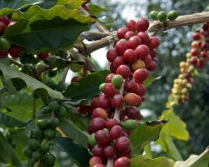 Coffee Plants, Wayanad