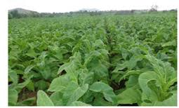 Tobacco farming in Karnataka.