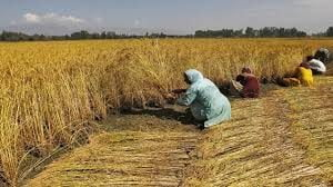 Wheat fields in Madhya Pradesh