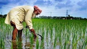Paddy fields in Punjab