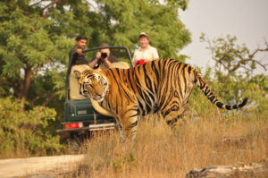 Bengal Tigers at Ranthambore National Park, Rajasthan