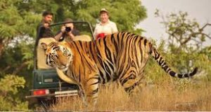 Tigers of Jim Corbett Forests