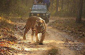Bengal tigers at Kanha forest