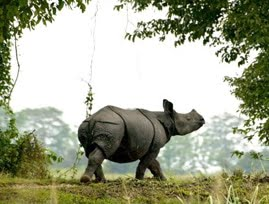 Rhinos of Kaziranga Forest