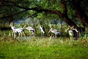 Kolleru Lake bird sanctuary, AP