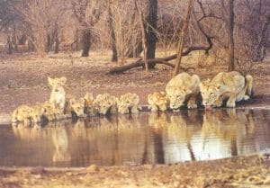 lions at gir forest