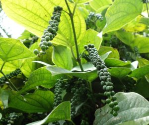 Black Pepper help in curing sore throat and throat related infections.