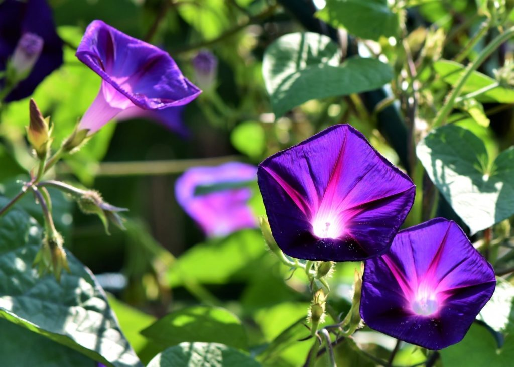 Morning-Glory-Flower