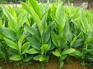 The root and the leaves of the turmeric plant have medicinal properties and is used as an anti-bacterial agent.