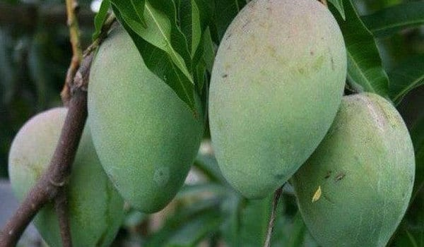 Himsagar-Mangoes